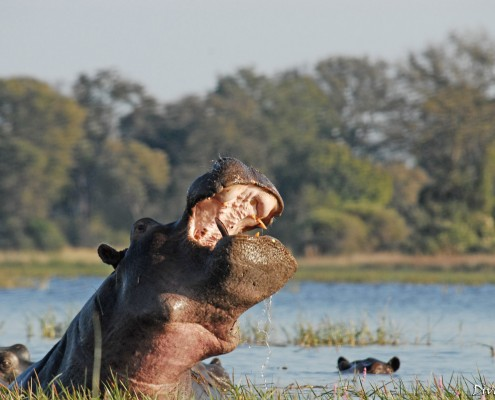 Hippo during a boat cruise