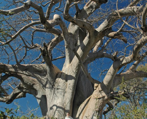 Giant Baobab at Mahango Game Park
