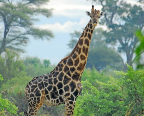 Giraffe during a Buffalo Game Drive