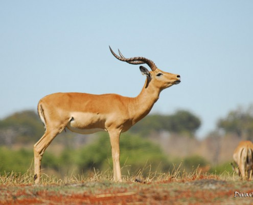 Impala during a Mahango Game Drive
