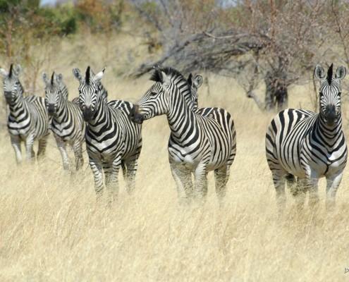 Zebras during a Mahango Game Drive